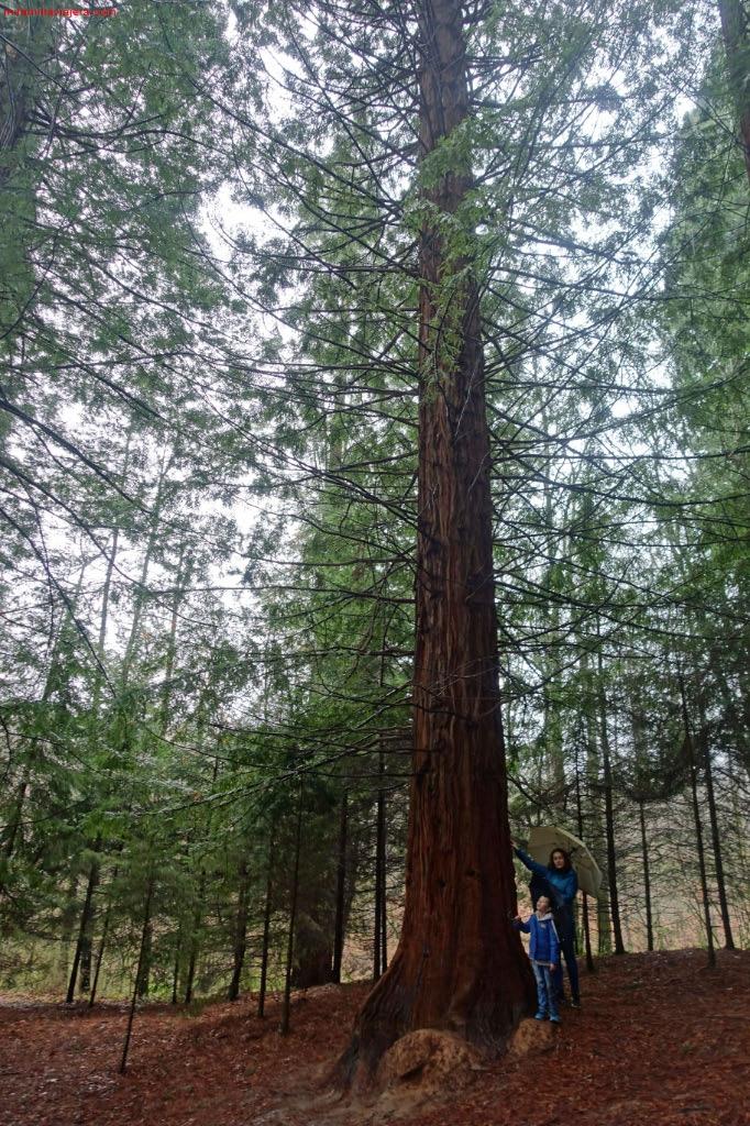 Las secuoyas son como gigantes del bosque