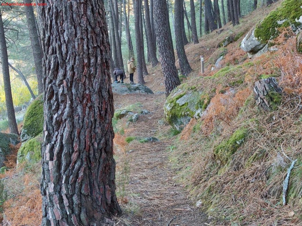 Bosques de pino albar