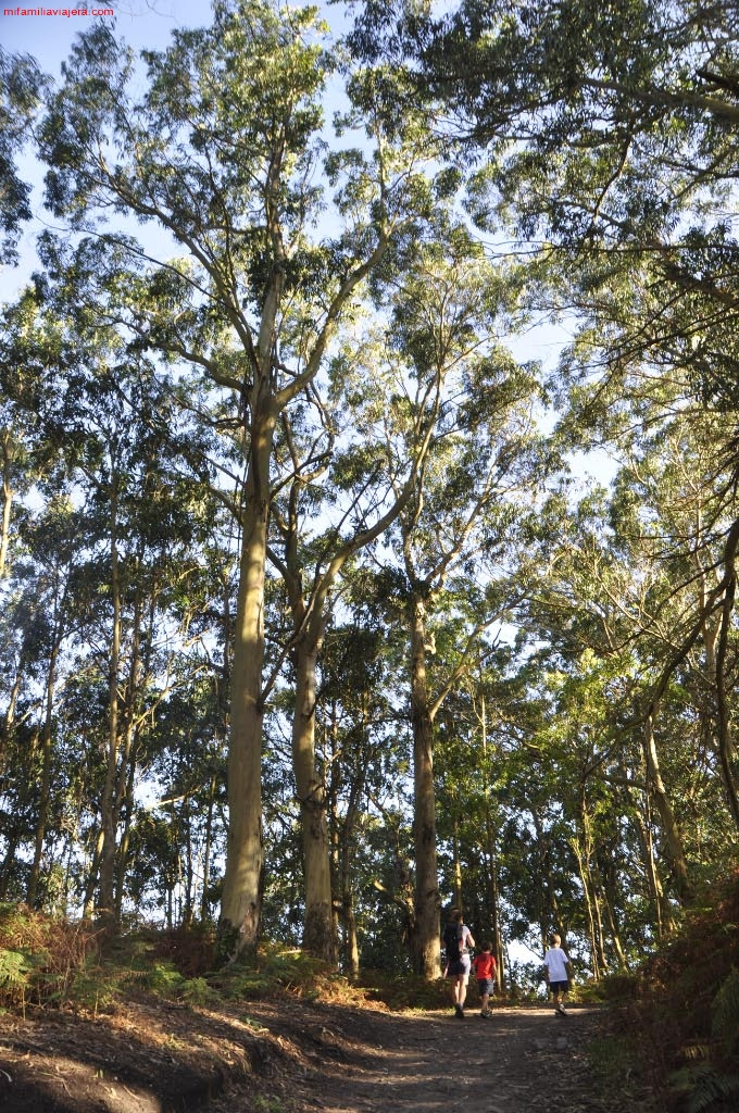 Senda por el bosque de eucaliptos