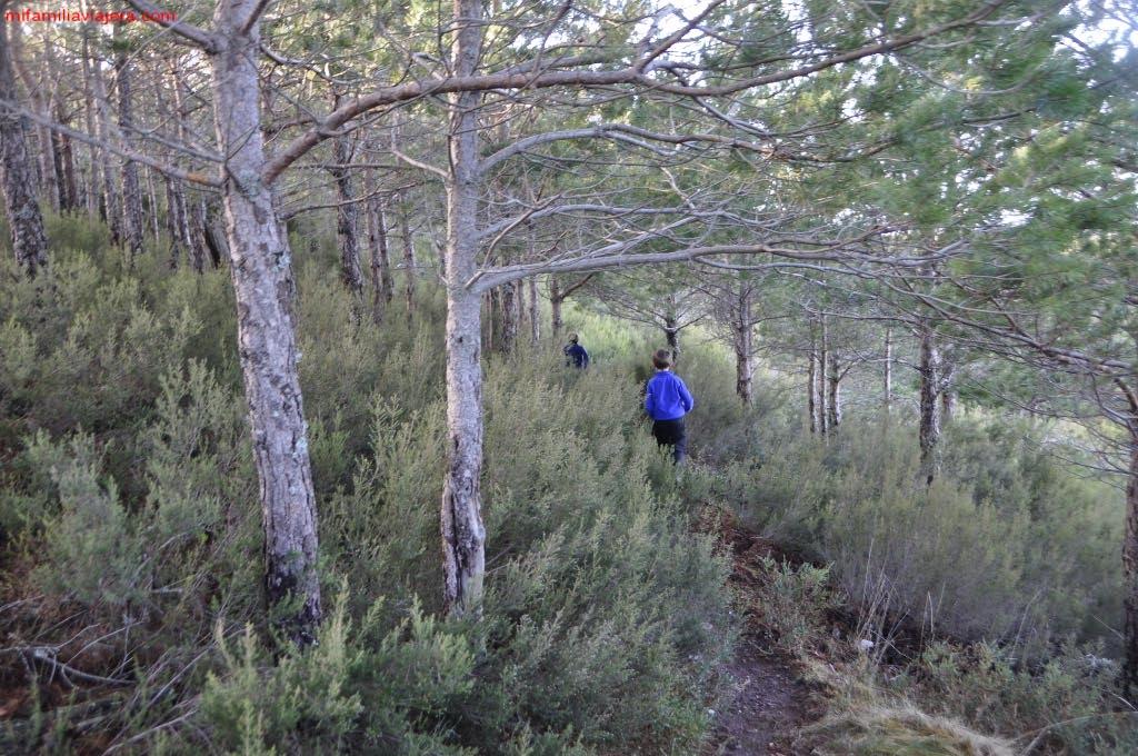 Descenso por el bosque de pinos jóvenes