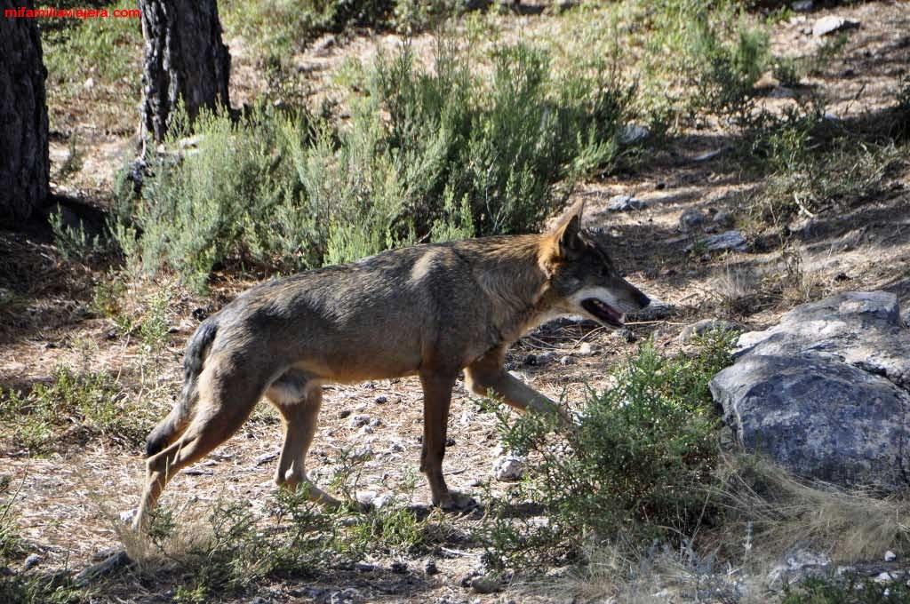 Centro de conservación del Lobo Ibérico de Robledo